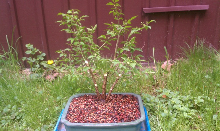 My big project today - my new dwarf Burning Bush