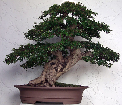 Someday, maybe she will grow big and awesome and look like this - from bonsaimary.com