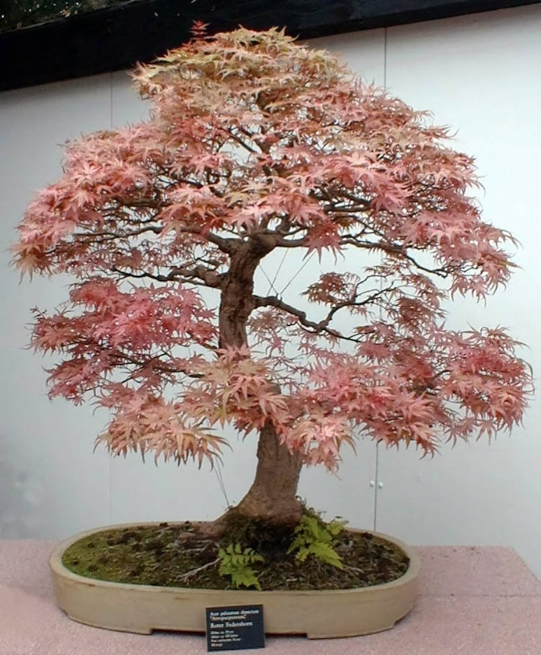 A Japanese Maple. from bonsaiplantcenter.com