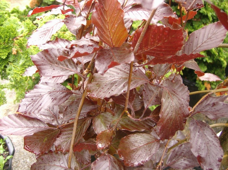 Purple Beech Leaves - from ewsprojects.com