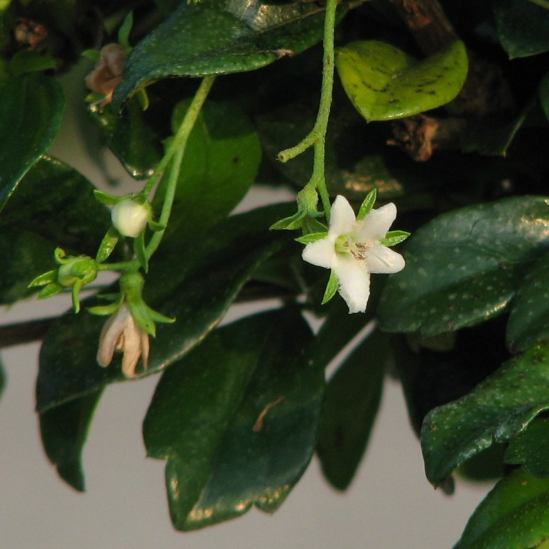 Fukien Tea Tree Flowers - from Wikimedia